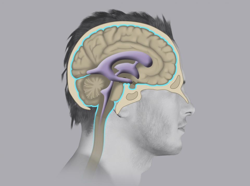 Nel sistema nervoso centrale sono presenti delle cavità chiamate ventricoli cerebrali che producono e contengono il liquor.