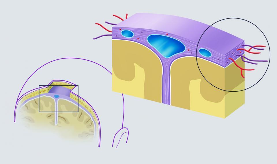 Le fistole artero-durali si localizzano nella dura madre, uno dei tre strati che compongono le meningi. Nel disegno si evince la struttura della dura madre vascolarizzata.